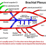 Brachial Plexus Made Easy