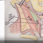 Triangles of the Anterior Neck & Anterior Nerves – Video