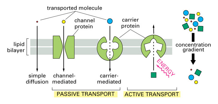 12_04_passive_active_transport