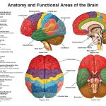 REVIEW OF THE FUNCTIONAL AREAS OF THE BRAIN – VIDEO LECTURE