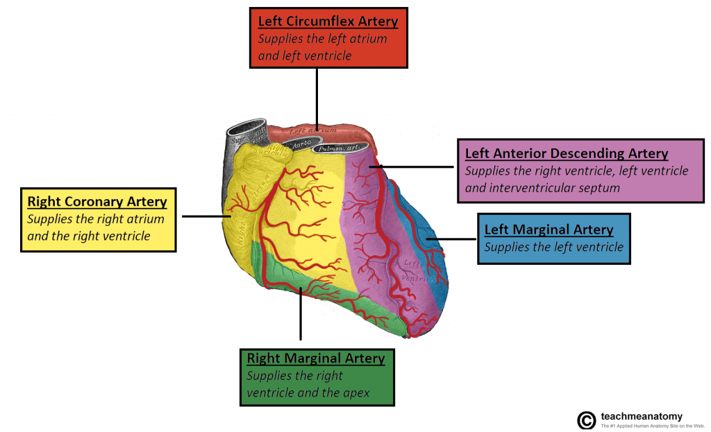 Blood-Supply-to-the-Heart-Anterior-View-1024x623