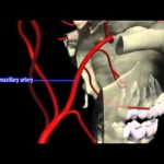 Maxillary artery 3D – Amazing Video
