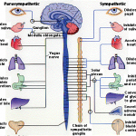AUTONOMIC NERVOUS SYSTEM; PART 1 – Video Lecture