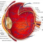 The Structure of the Eye – Video Lecture