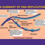 DNA Replication – Video Lecture