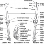 MCQs of Joints of the Upper & Lower Limbs