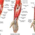 MCQs of Anatomy of Forearm & Wrist
