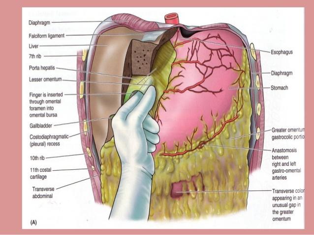 peritoneum-slides-33-638
