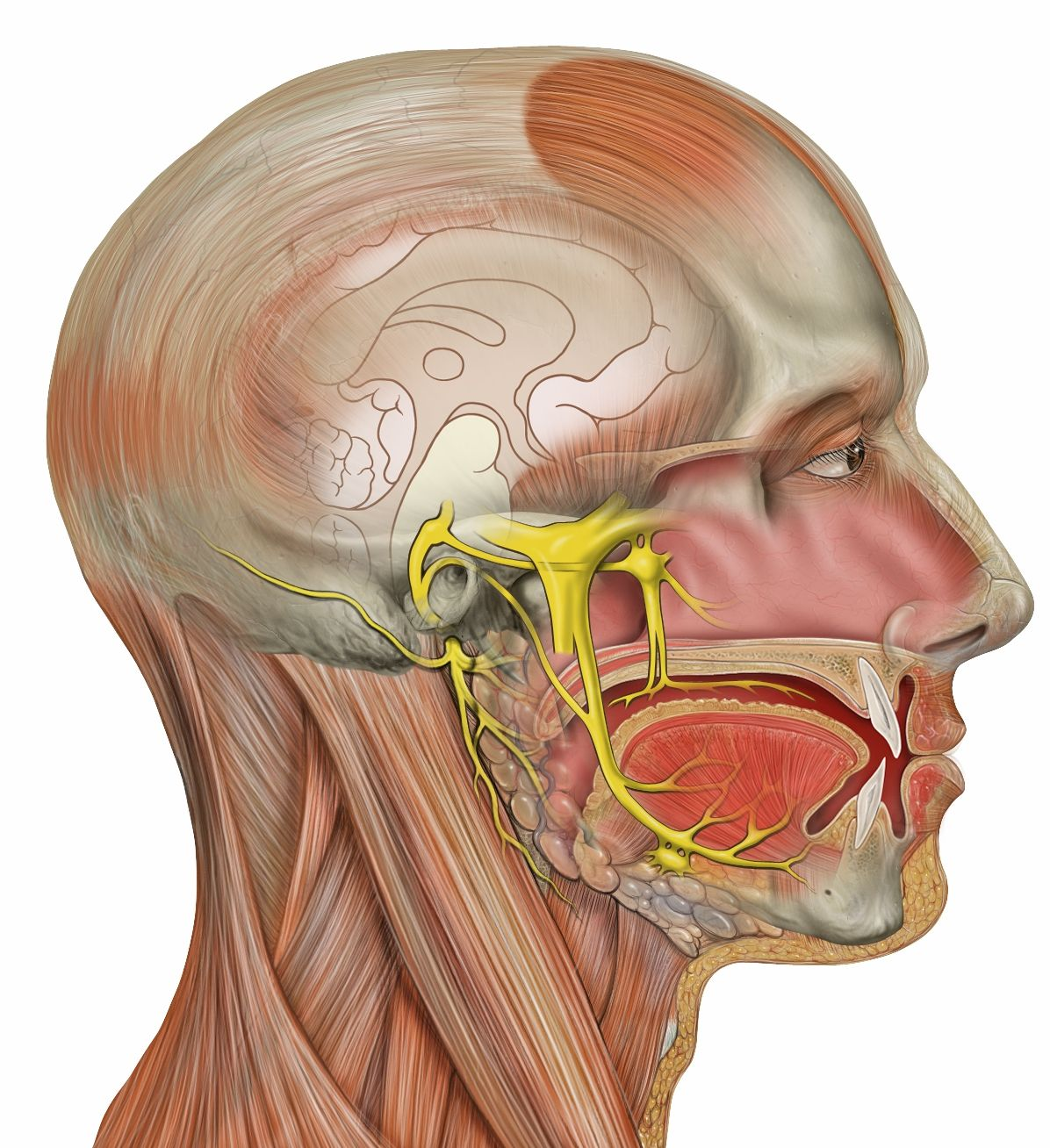 Questions of Head and Neck with Answer key – Dentistry & Medicine